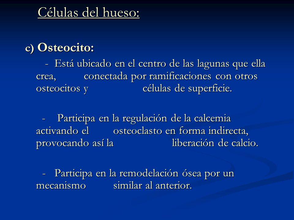 Células del hueso: Células del hueso: c) Osteocito: - Está ubicado en el centro de las lagunas que ella crea, conectada por ramificaciones con otros o