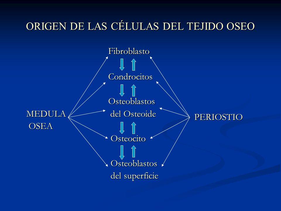 ORIGEN DE LAS CÉLULAS DEL TEJIDO OSEO Fibroblasto Fibroblasto Condrocitos Condrocitos Osteoblastos Osteoblastos MEDULA del Osteoide MEDULA del Osteoide OSEA OSEA Osteocito Osteocito Osteoblastos Osteoblastos del superficie del superficie PERIOSTIO