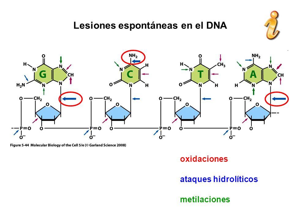 Lesiones espontáneas en el DNA oxidaciones ataques hidrolíticos metilaciones