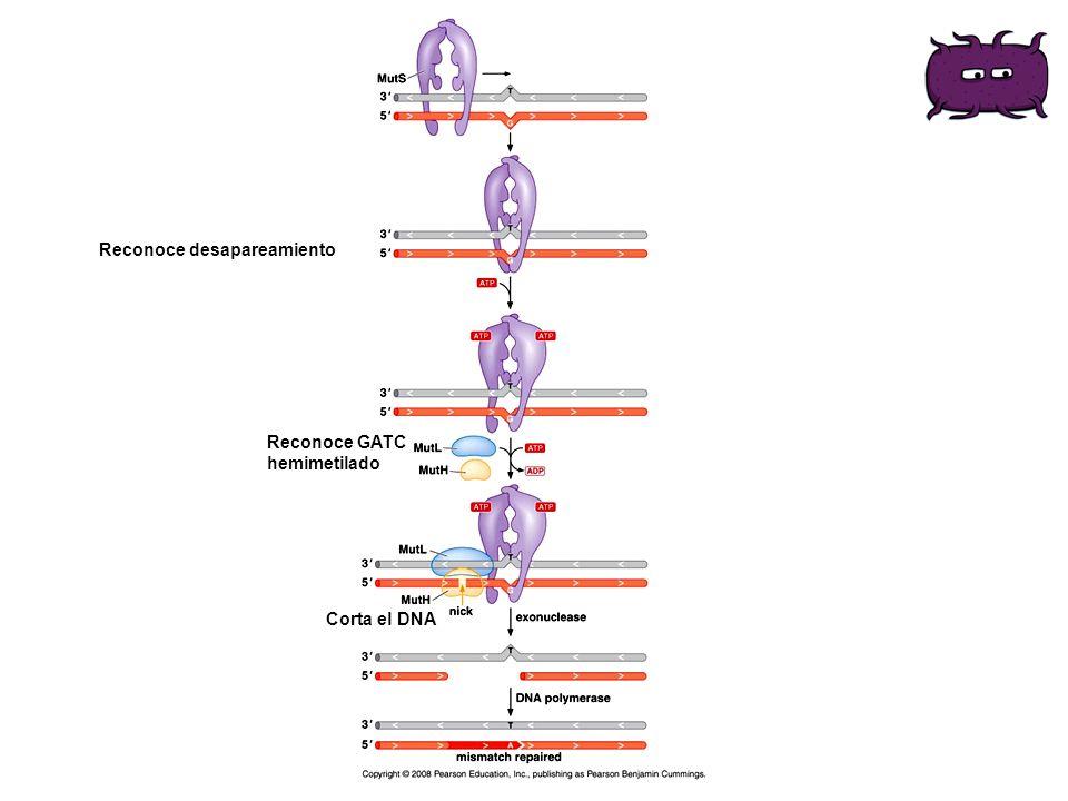 Reconoce desapareamiento Reconoce GATC hemimetilado Corta el DNA
