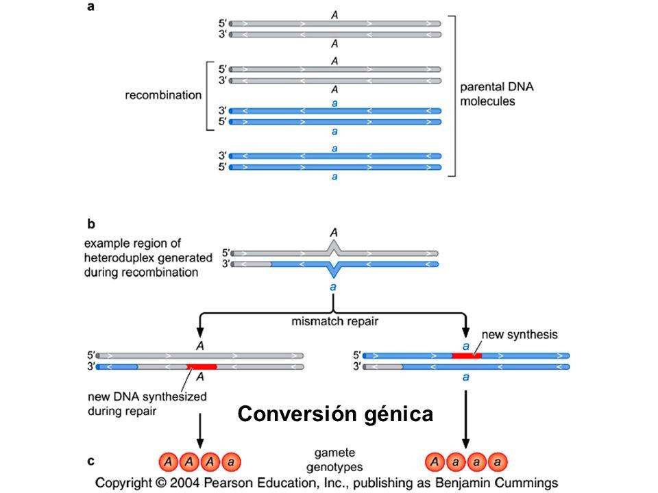 Conversión génica