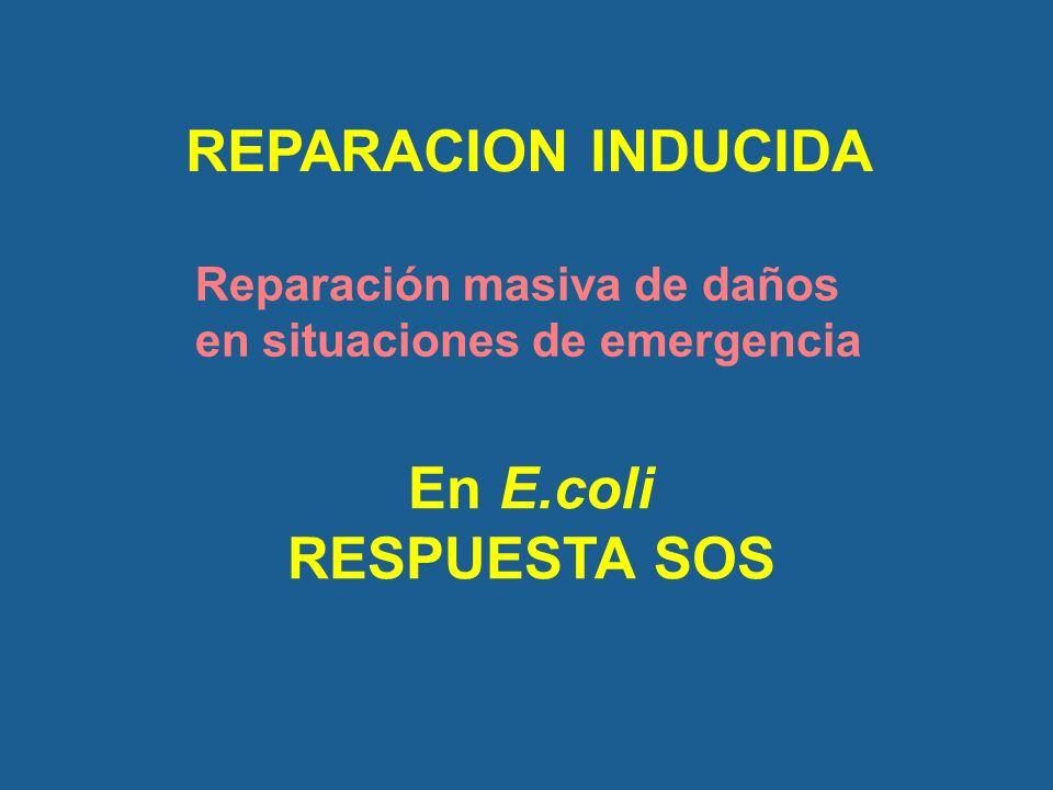 REPARACION INDUCIDA En E.coli RESPUESTA SOS Reparación masiva de daños en situaciones de emergencia