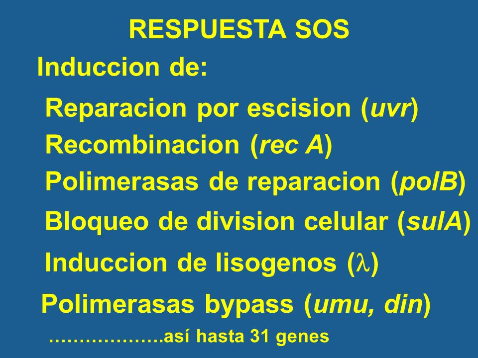 RESPUESTA SOS Induccion de: Reparacion por escision (uvr) Recombinacion (rec A) Polimerasas bypass (umu, din) Bloqueo de division celular (sulA) Polimerasas de reparacion (polB) Induccion de lisogenos ( ) ……………….así hasta 31 genes