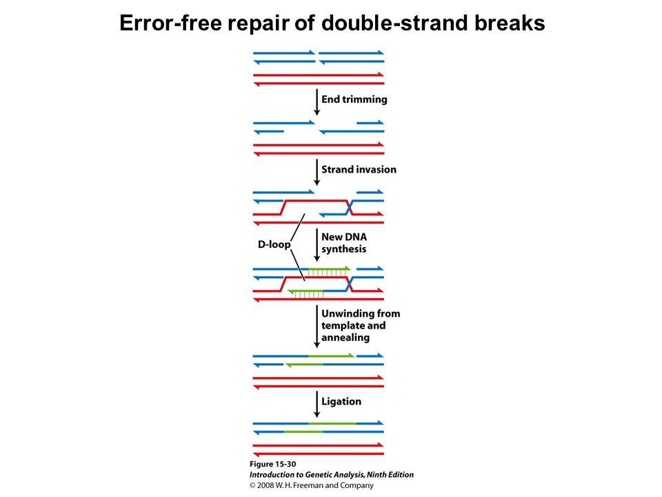 Error-free repair of double-strand breaks Figure 15-30