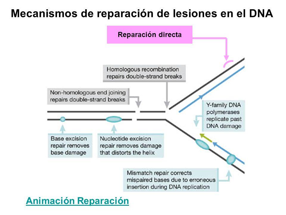 Reparación directa Animación Reparación Mecanismos de reparación de lesiones en el DNA