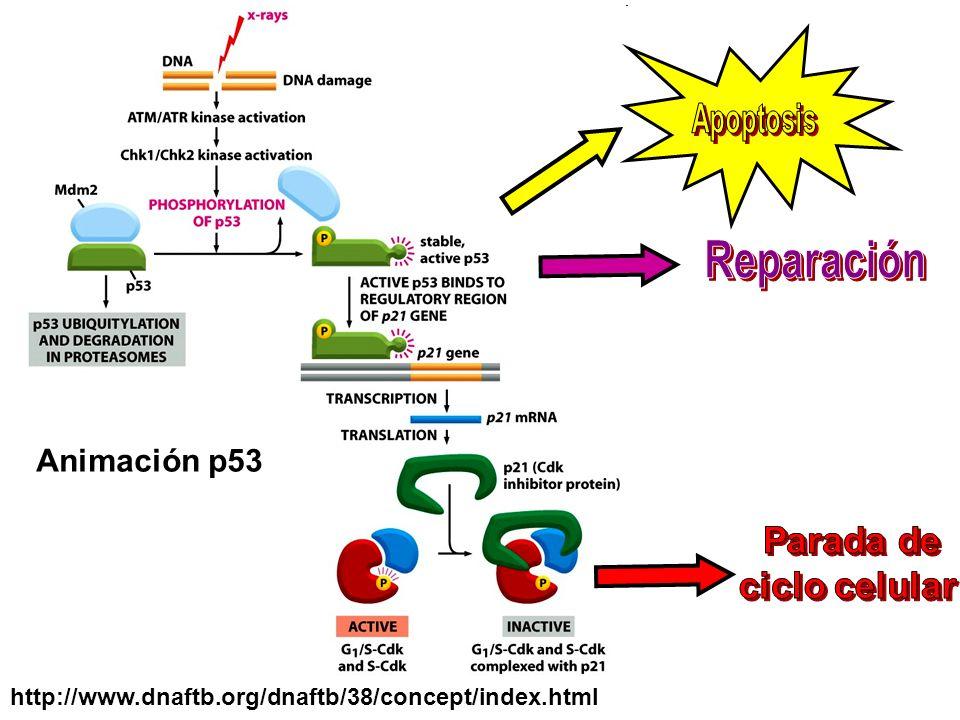 Animación p53 http://www.dnaftb.org/dnaftb/38/concept/index.html