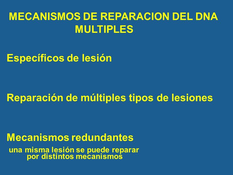 MECANISMOS DE REPARACION DEL DNA una misma lesión se puede reparar por distintos mecanismos Mecanismos redundantes Específicos de lesión Reparación de múltiples tipos de lesiones MULTIPLES