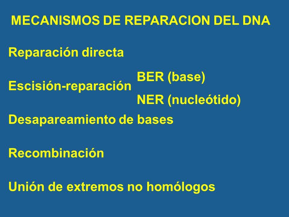MECANISMOS DE REPARACION DEL DNA Escisión-reparación Desapareamiento de bases Recombinación BER (base) NER (nucleótido) Reparación directa Unión de extremos no homólogos