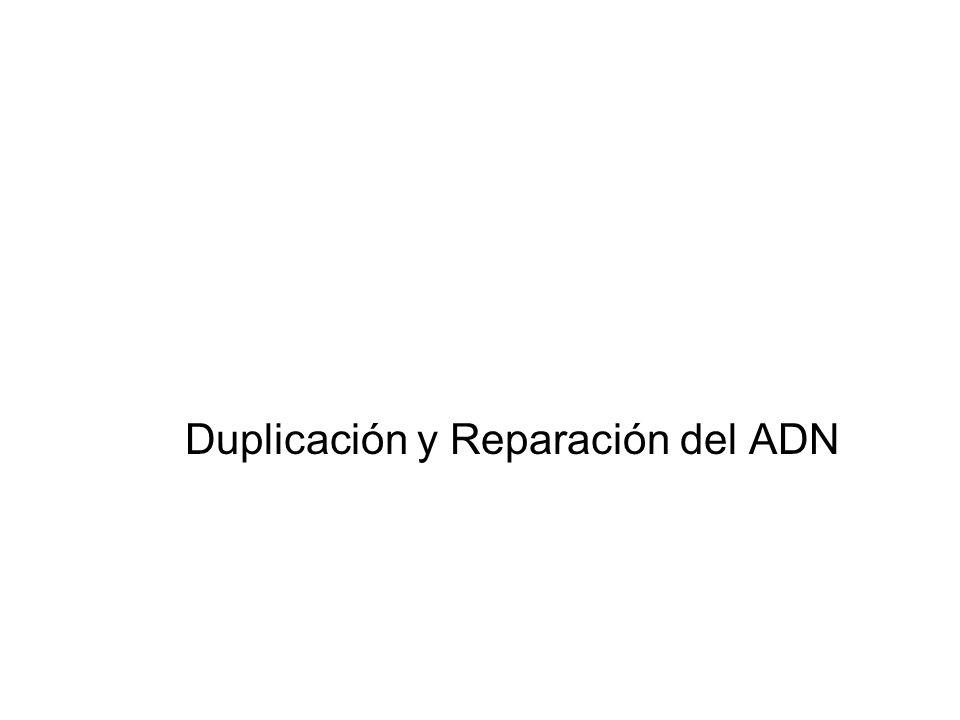 Duplicación y Reparación del ADN