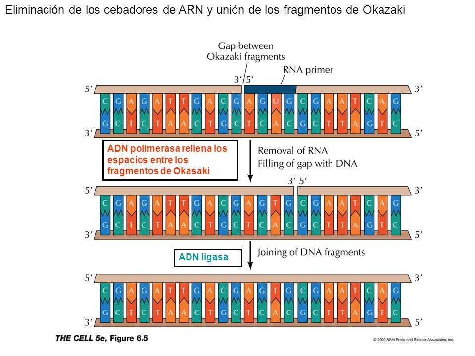 Eliminación de los cebadores de ARN y unión de los fragmentos de Okazaki ADN ligasa ADN polimerasa rellena los espacios entre los fragmentos de Okasak