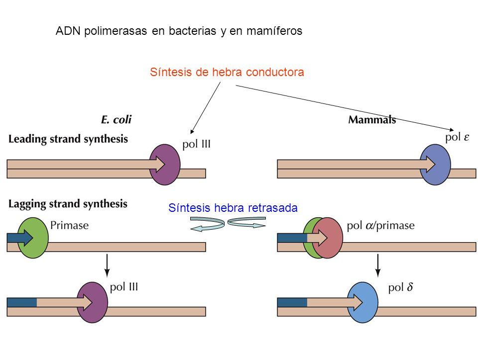 ADN polimerasas en bacterias y en mamíferos Síntesis de hebra conductora Síntesis hebra retrasada