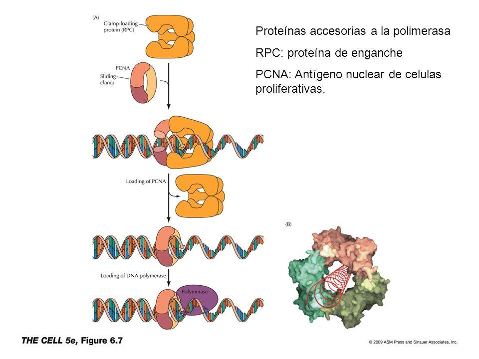 Proteínas accesorias a la polimerasa RPC: proteína de enganche PCNA: Antígeno nuclear de celulas proliferativas.