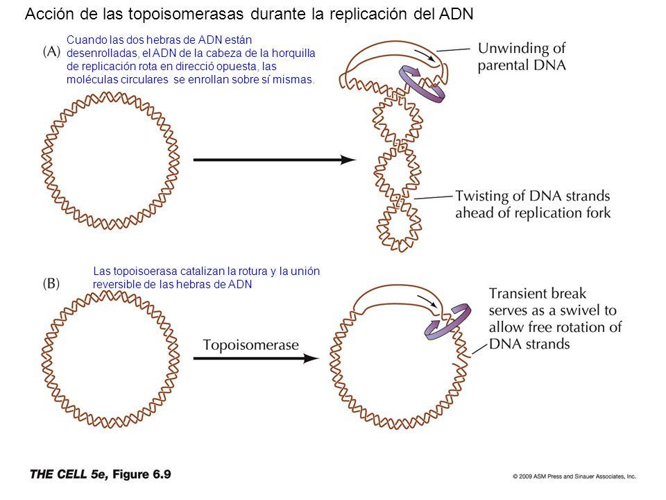 Acción de las topoisomerasas durante la replicación del ADN Cuando las dos hebras de ADN están desenrolladas, el ADN de la cabeza de la horquilla de r