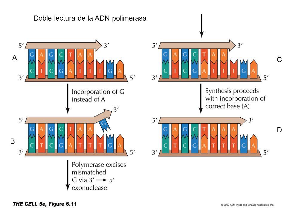 A B C D Doble lectura de la ADN polimerasa