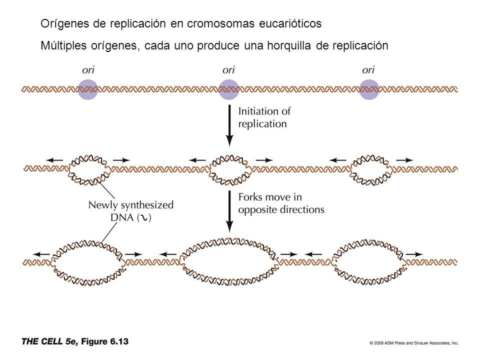 Orígenes de replicación en cromosomas eucarióticos Múltiples orígenes, cada uno produce una horquilla de replicación