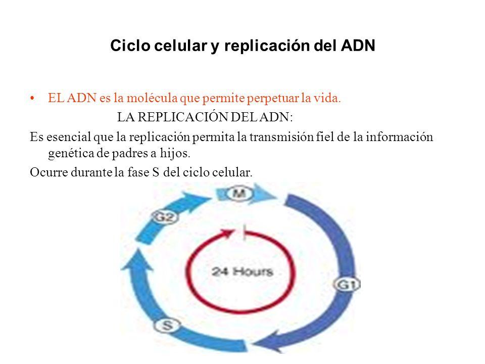 Ciclo celular y replicación del ADN EL ADN es la molécula que permite perpetuar la vida. LA REPLICACIÓN DEL ADN: Es esencial que la replicación permit