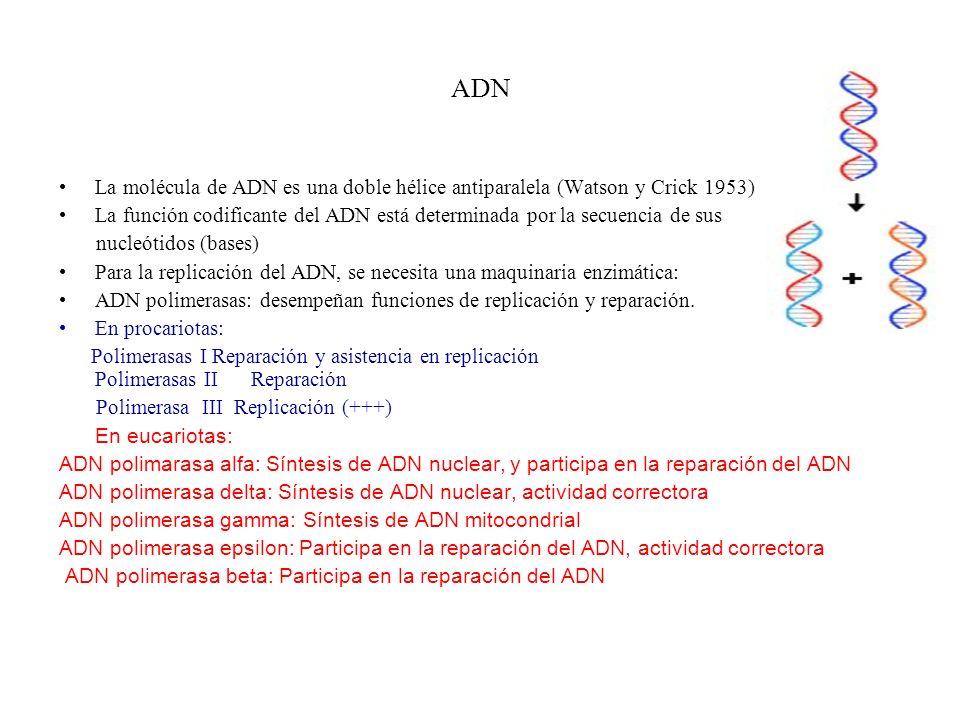 ADN La molécula de ADN es una doble hélice antiparalela (Watson y Crick 1953) La función codificante del ADN está determinada por la secuencia de sus