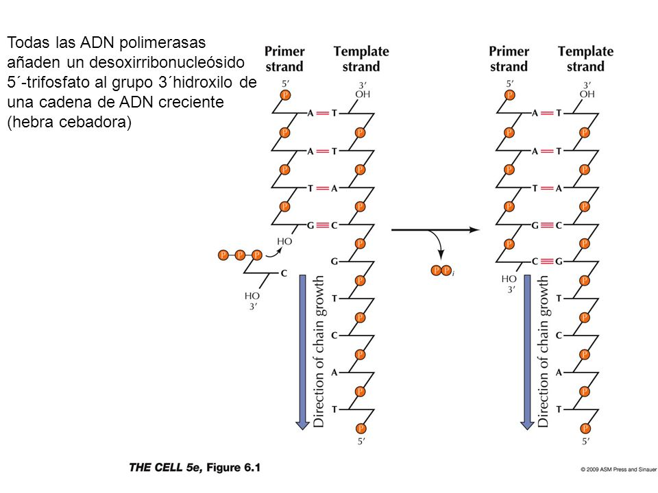 Todas las ADN polimerasas añaden un desoxirribonucleósido 5´-trifosfato al grupo 3´hidroxilo de una cadena de ADN creciente (hebra cebadora)