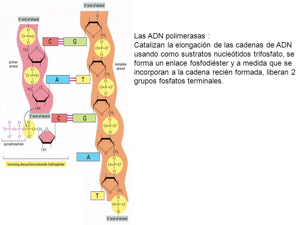 Las ADN polimerasas : Catalizan la elongación de las cadenas de ADN usando como sustratos nucleótidos trifosfato, se forma un enlace fosfodiéster y a