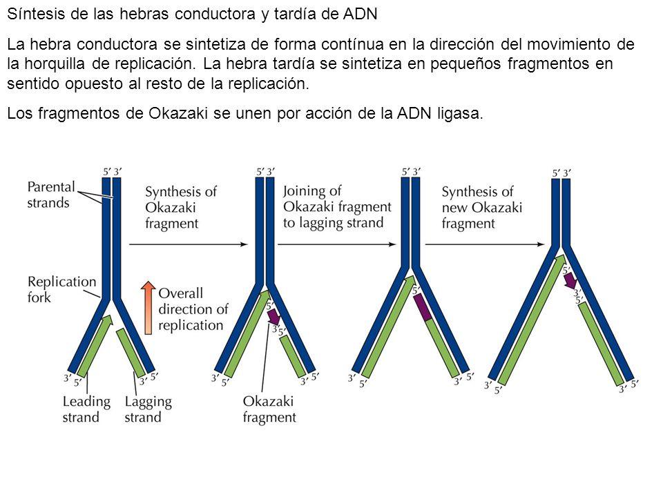 Síntesis de las hebras conductora y tardía de ADN La hebra conductora se sintetiza de forma contínua en la dirección del movimiento de la horquilla de