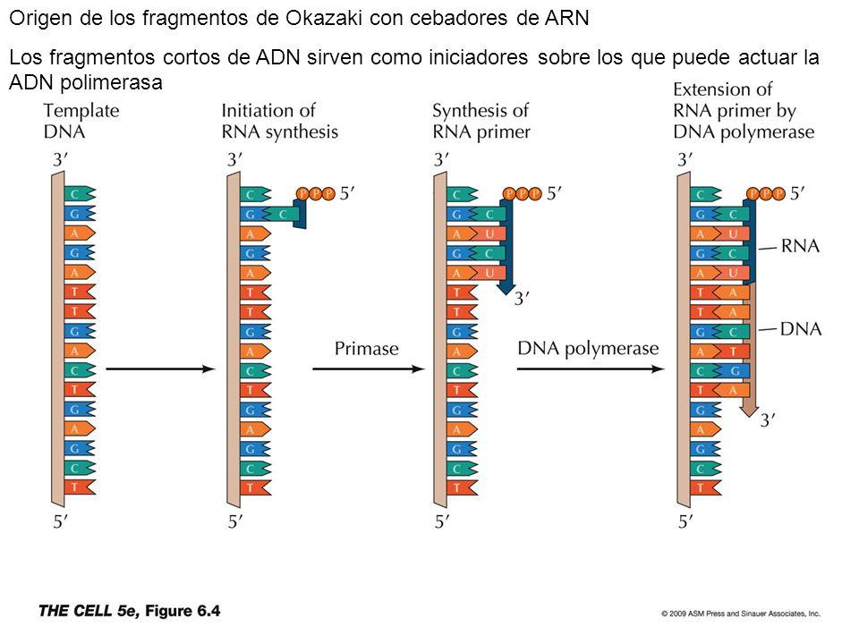 Origen de los fragmentos de Okazaki con cebadores de ARN Los fragmentos cortos de ADN sirven como iniciadores sobre los que puede actuar la ADN polime
