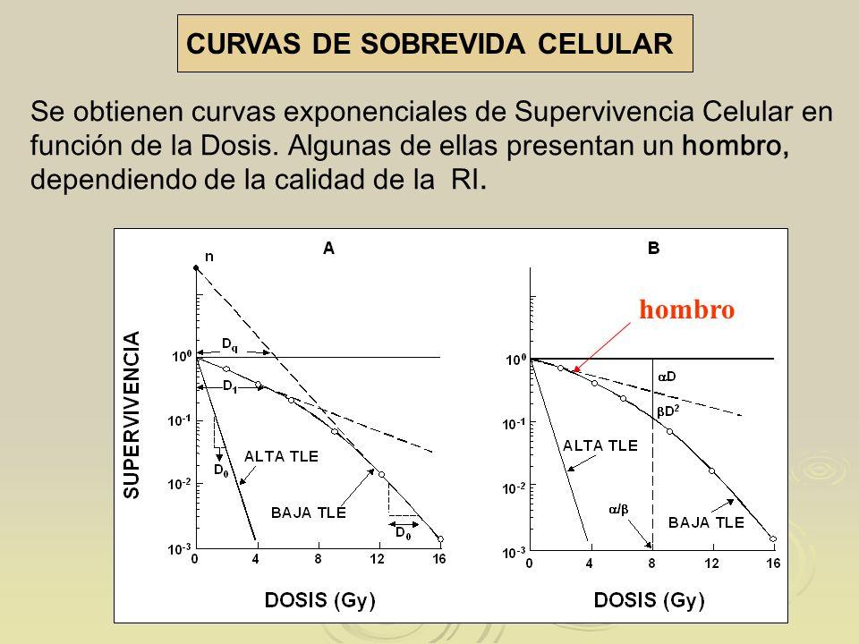 CURVAS DE SOBREVIDA CELULAR Se obtienen curvas exponenciales de Supervivencia Celular en función de la Dosis. Algunas de ellas presentan un hombro, de