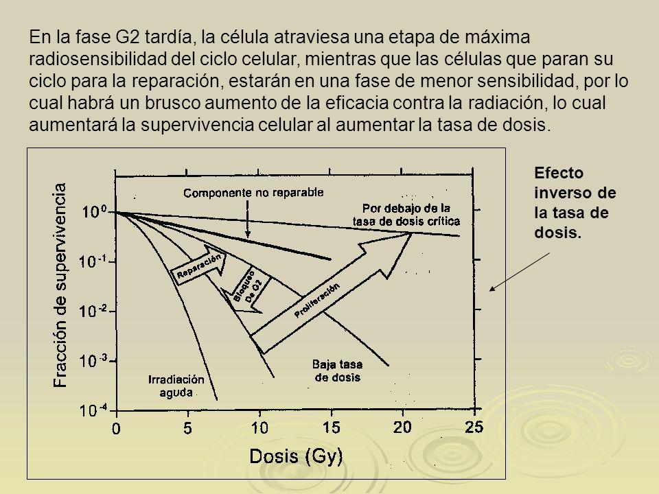 En la fase G2 tardía, la célula atraviesa una etapa de máxima radiosensibilidad del ciclo celular, mientras que las células que paran su ciclo para la