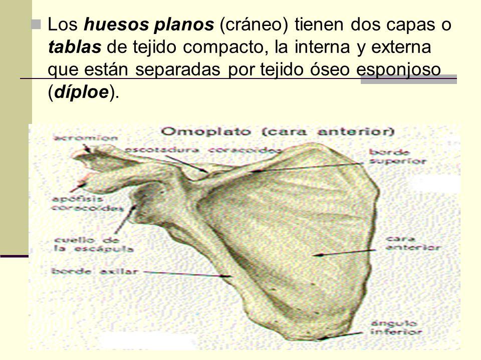 Los huesos planos (cráneo) tienen dos capas o tablas de tejido compacto, la interna y externa que están separadas por tejido óseo esponjoso (díploe).
