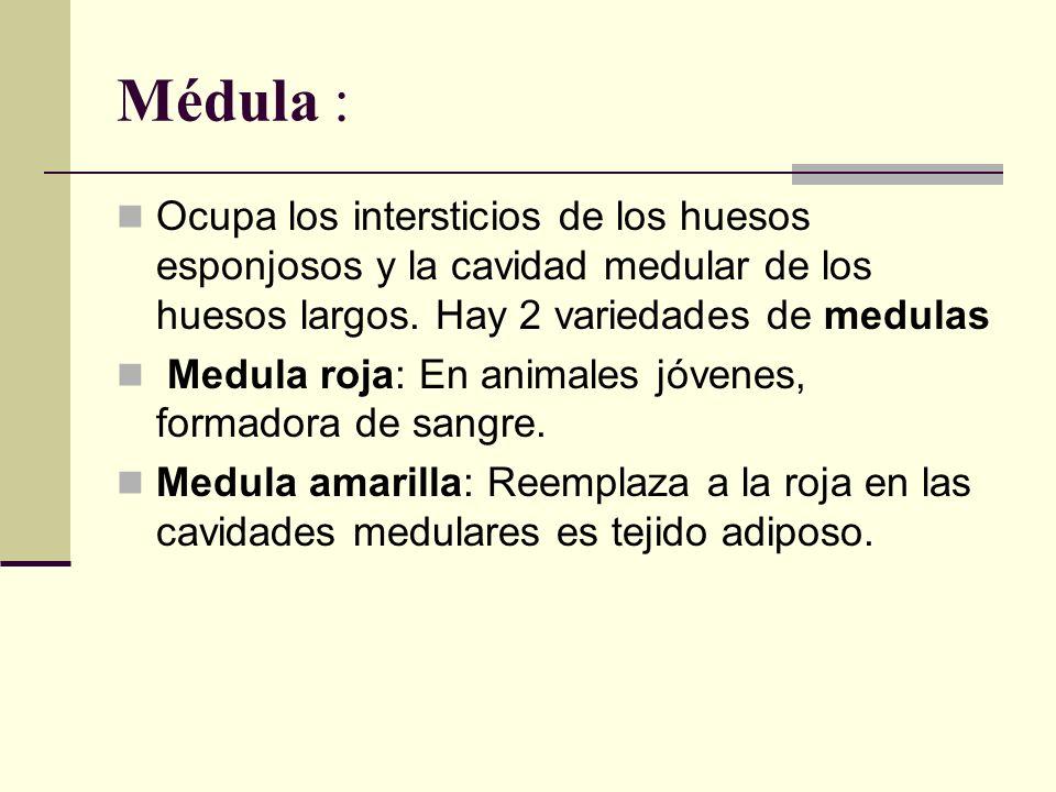 Médula : Ocupa los intersticios de los huesos esponjosos y la cavidad medular de los huesos largos. Hay 2 variedades de medulas Medula roja: En animal