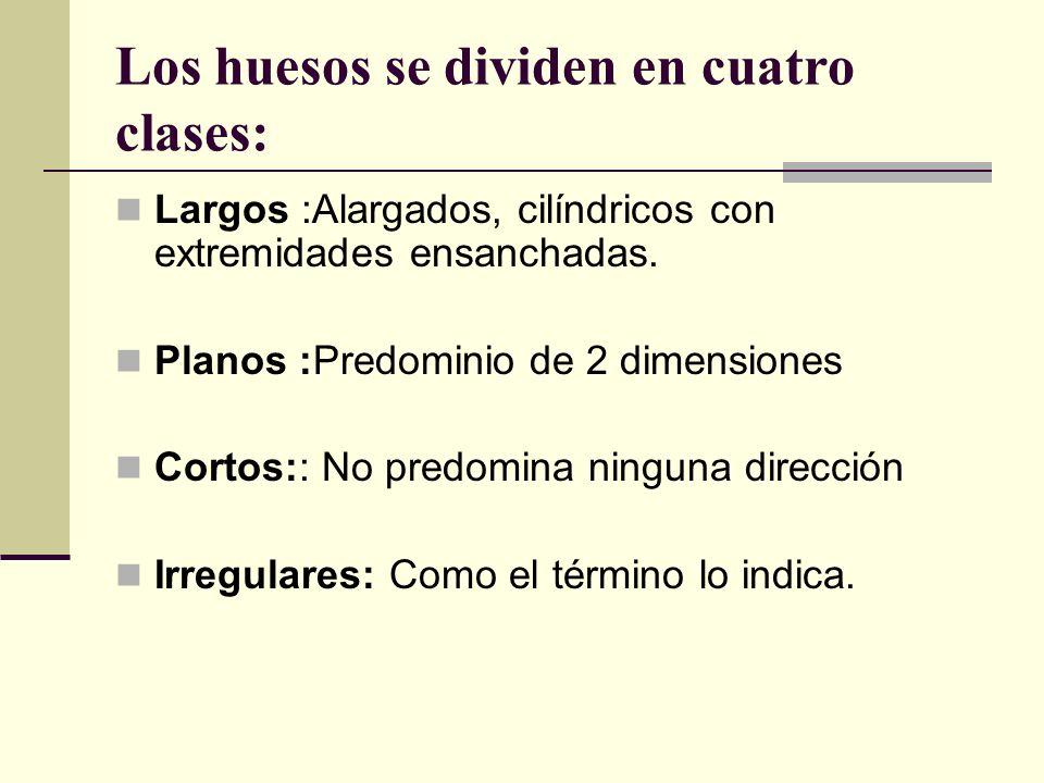 Los huesos se dividen en cuatro clases: Largos :Alargados, cilíndricos con extremidades ensanchadas. Planos :Predominio de 2 dimensiones Cortos:: No p