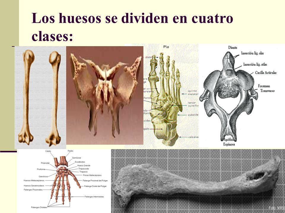 Los huesos se dividen en cuatro clases: