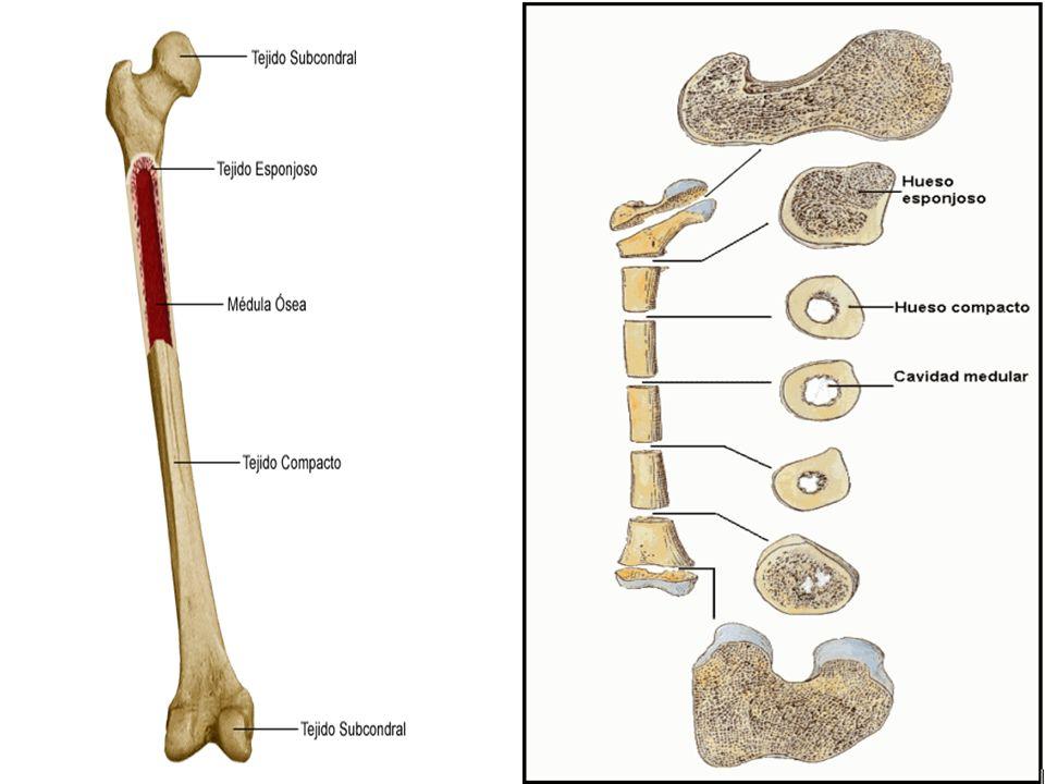 Algunas fibras colágenas del tejido óseo son continuas a las fibras del periostio (fibras de Sharpey).