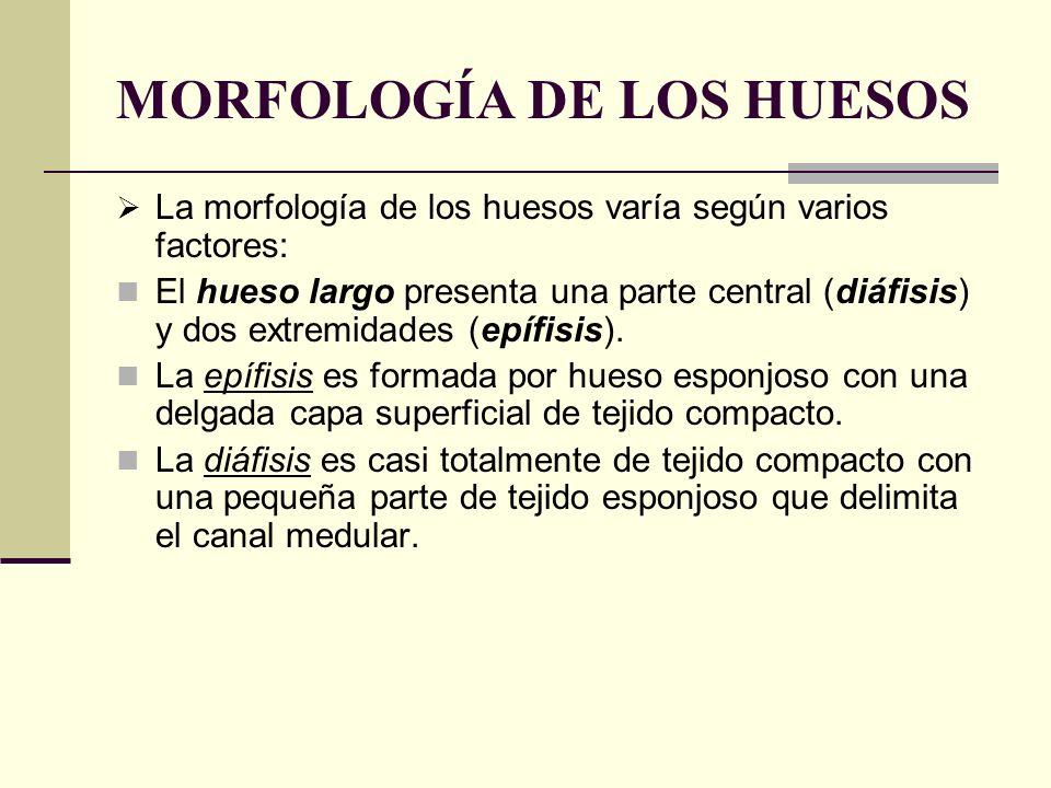 MORFOLOGÍA DE LOS HUESOS La morfología de los huesos varía según varios factores: El hueso largo presenta una parte central (diáfisis) y dos extremida