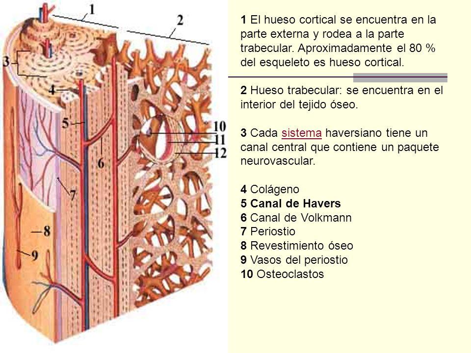 1 El hueso cortical se encuentra en la parte externa y rodea a la parte trabecular. Aproximadamente el 80 % del esqueleto es hueso cortical. 2 Hueso t