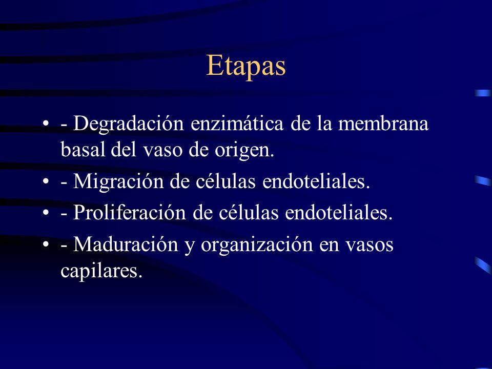Etapas - Degradación enzimática de la membrana basal del vaso de origen. - Migración de células endoteliales. - Proliferación de células endoteliales.