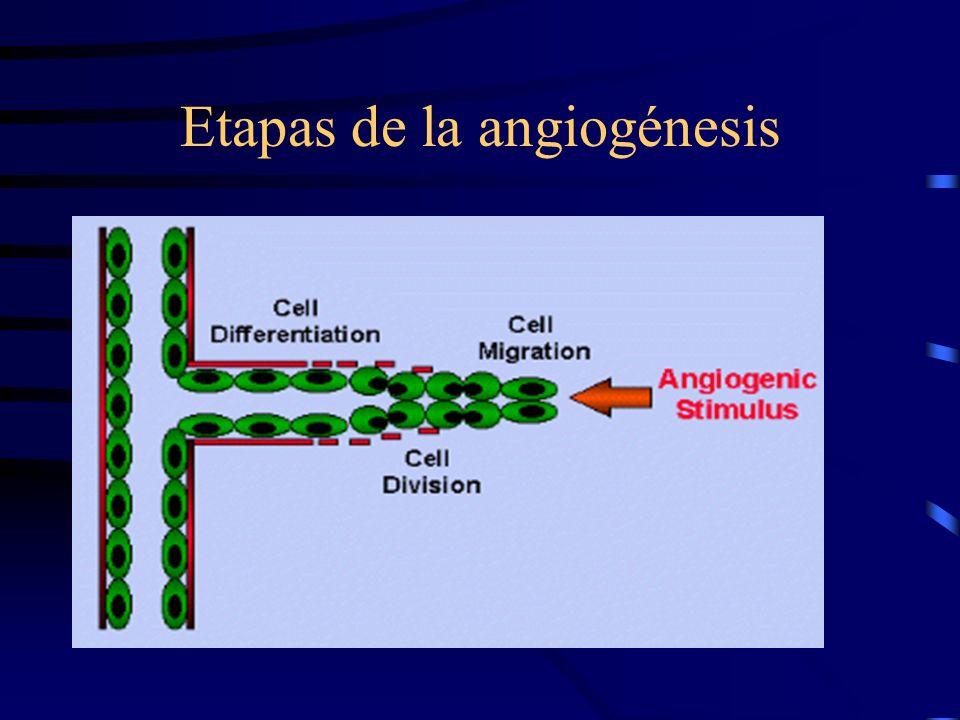 Factores importantes en la inducción de la angiogénesis FGF básico -mediador de todas las etapas de la angiogénesis - elaborado por los macrófagos.