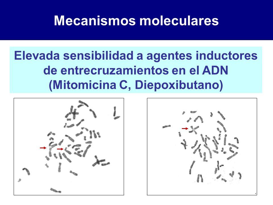 Mecanismos moleculares Elevada sensibilidad a agentes inductores de entrecruzamientos en el ADN (Mitomicina C, Diepoxibutano)