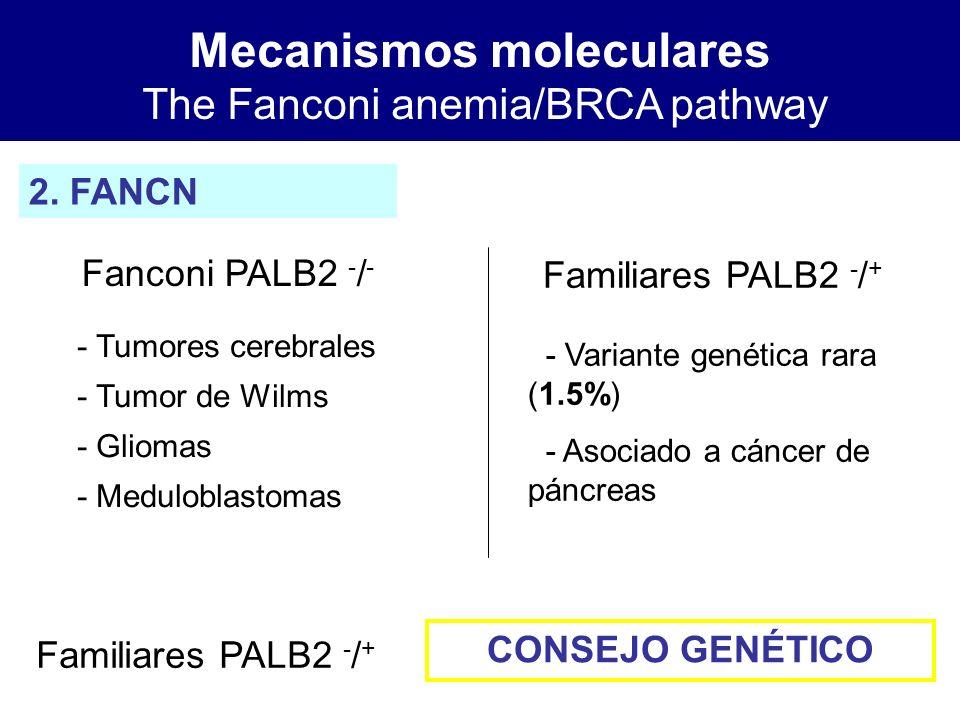 Mecanismos moleculares The Fanconi anemia/BRCA pathway 2. FANCN Fanconi PALB2 - / - Familiares PALB2 - / + - Tumores cerebrales - Tumor de Wilms - Gli