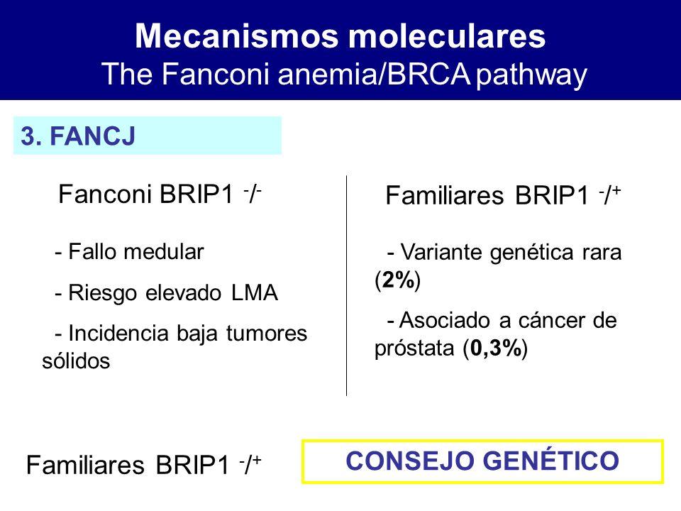 Mecanismos moleculares The Fanconi anemia/BRCA pathway 3. FANCJ Fanconi BRIP1 - / - Familiares BRIP1 - / + - Fallo medular - Riesgo elevado LMA - Inci