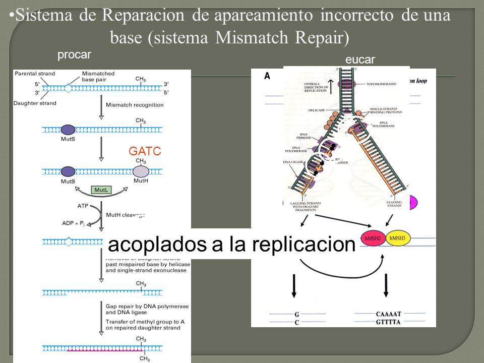 Sistema de Reparacion de apareamiento incorrecto de una base (sistema Mismatch Repair) acoplados a la replicacion procar eucar GATC