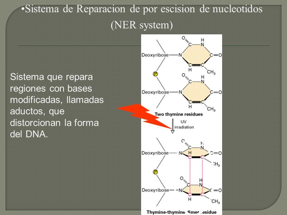 Sistema de Reparacion de por escision de nucleotidos (NER system) Sistema que repara regiones con bases modificadas, llamadas aductos, que distorciona