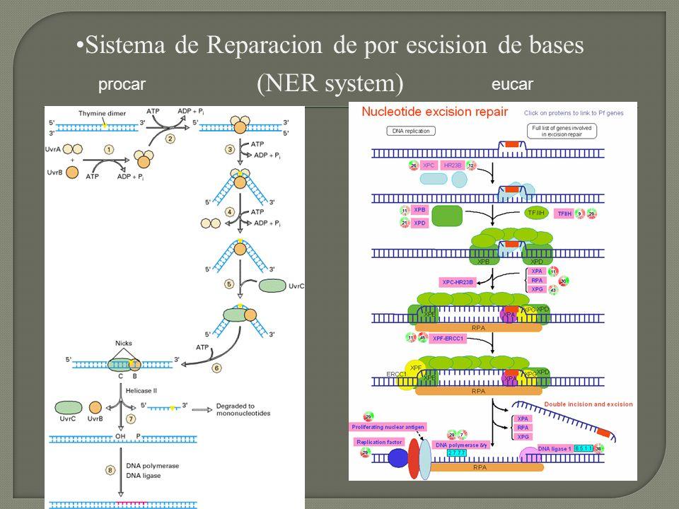 Sistema de Reparacion de por escision de bases (NER system) procar eucar