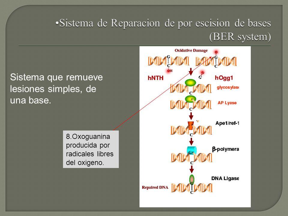 Sistema que remueve lesiones simples, de una base. 8.Oxoguanina producida por radicales libres del oxigeno.