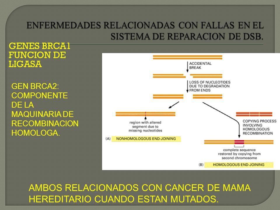 GENES BRCA1 FUNCION DE LIGASA GEN BRCA2: COMPONENTE DE LA MAQUINARIA DE RECOMBINACION HOMOLOGA. AMBOS RELACIONADOS CON CANCER DE MAMA HEREDITARIO CUAN