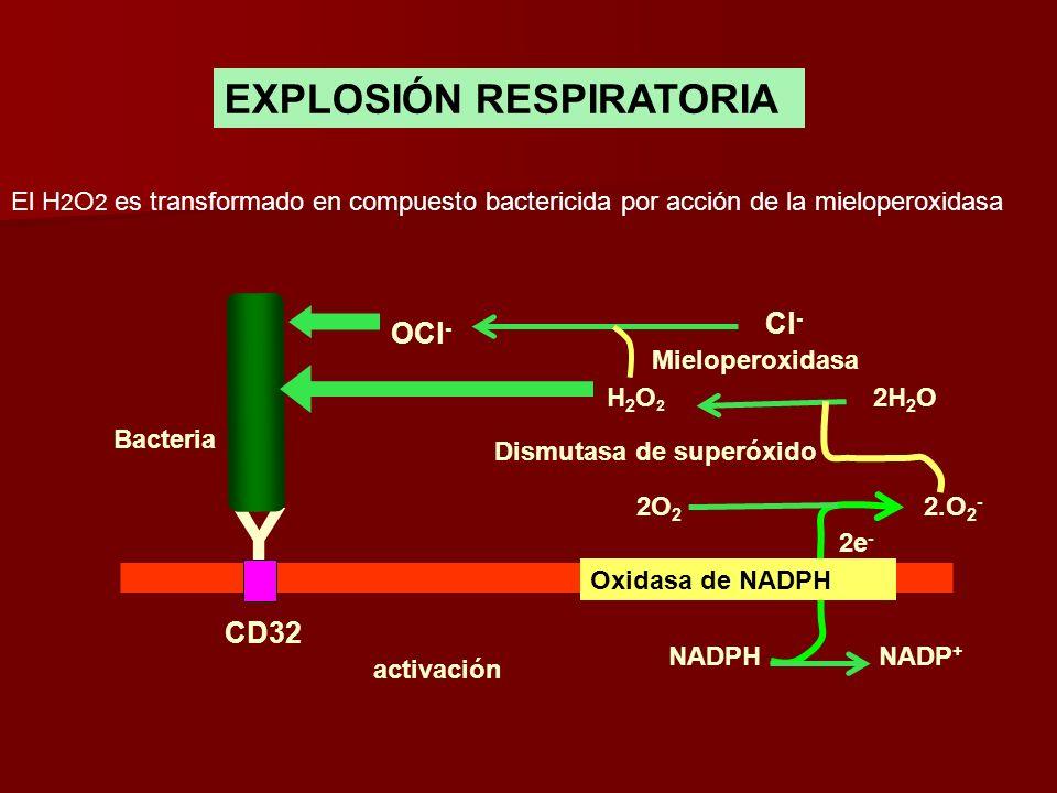 EXPLOSIÓN RESPIRATORIA Y CD32 Bacteria Oxidasa de NADPH activación NADPHNADP + 2O 2 2.O 2 - 2e - 2H 2 OH2O2H2O2 Dismutasa de superóxido Cl - Mielopero