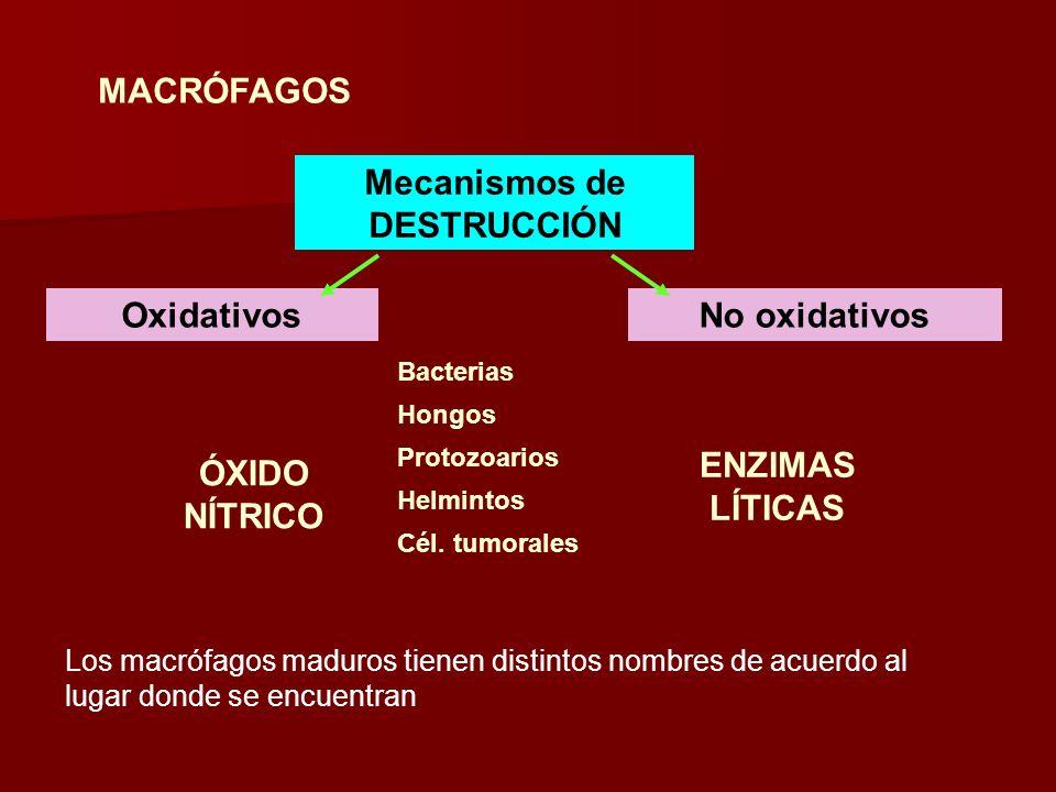 MACRÓFAGOS Mecanismos de DESTRUCCIÓN OxidativosNo oxidativos ÓXIDO NÍTRICO Bacterias Hongos Protozoarios Helmintos Cél. tumorales ENZIMAS LÍTICAS Los