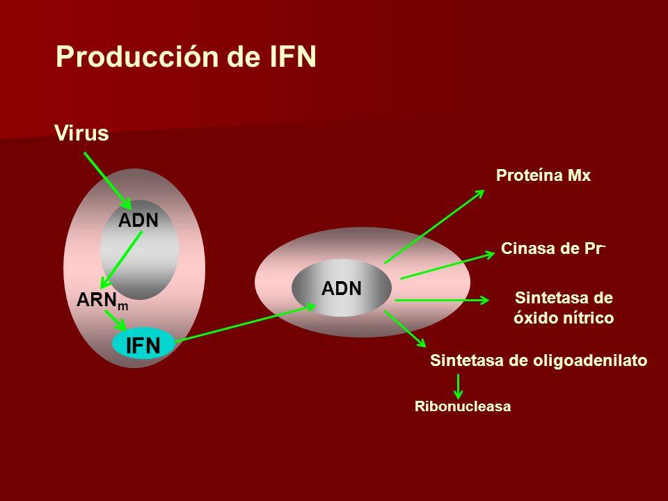 Producción de IFN ADN Virus ARN m IFN Proteína Mx Cinasa de Pr - Sintetasa de óxido nítrico Sintetasa de oligoadenilato Ribonucleasa