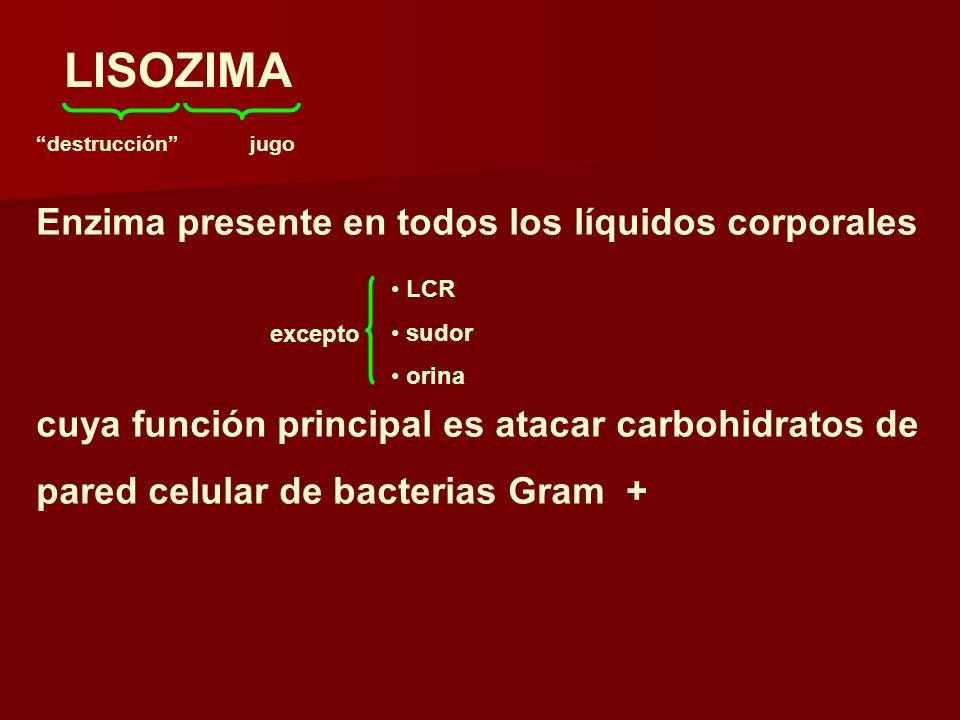 LISOZIMA destrucciónjugo Enzima presente en todos los líquidos corporales cuya función principal es atacar carbohidratos de pared celular de bacterias Gram + excepto LCR sudor orina.