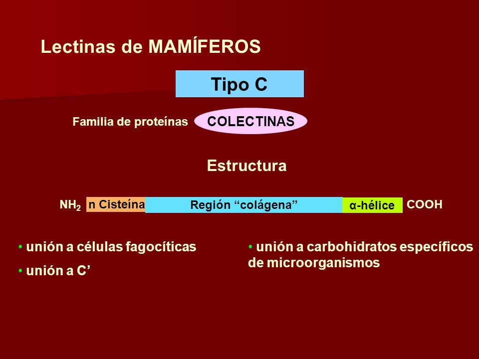 Lectinas de MAMÍFEROS Tipo C COLECTINAS Familia de proteínas n Cisteína Región colágena α-hélice NH 2 COOH Estructura unión a células fagocíticas unión a C unión a carbohidratos específicos de microorganismos