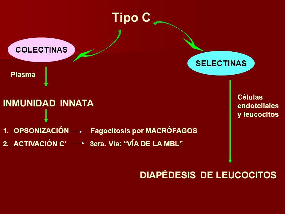 Tipo C COLECTINAS Plasma INMUNIDAD INNATA 1.OPSONIZACIÓN Fagocitosis por MACRÓFAGOS 2.ACTIVACIÓN C 3era. Vía: VÍA DE LA MBL SELECTINAS Células endotel